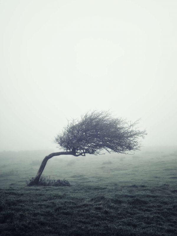 windswept hawthorn galway