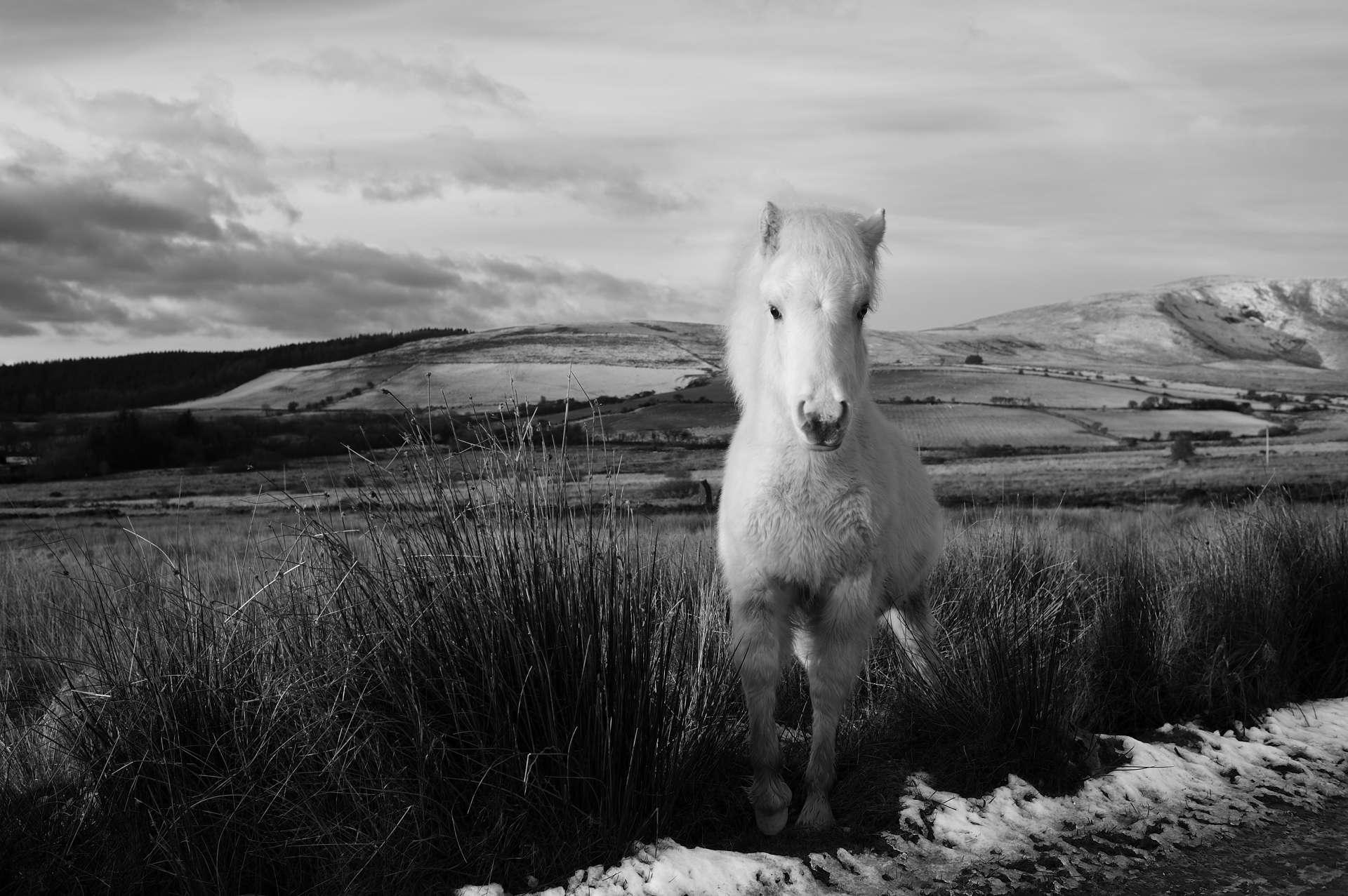 white pony pembrokeshire
